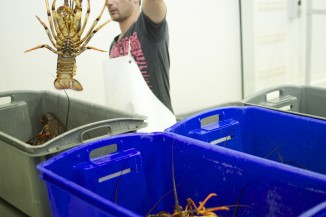 Lobster in bins